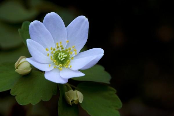 Una bonita anémona blanca