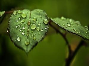 Postal: Gotas de lluvia sobre las hojas verdes