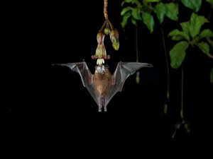 Postal: Un murciélago comiendo el néctar de una flor
