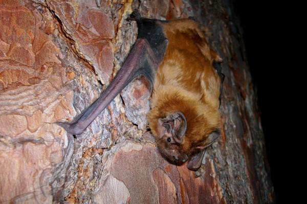 Un murciélago agarrado al tronco de un árbol