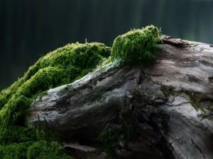 Musgo verde sobre un tronco caído