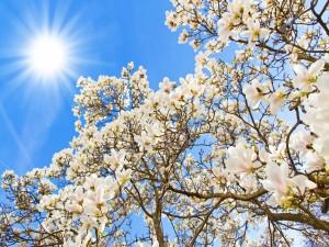 Postal: Árbol en flor y el brillante sol