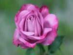 Una rosa abierta de color rosa