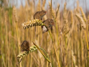 Postal: Ratones sobre unas espigas de trigo