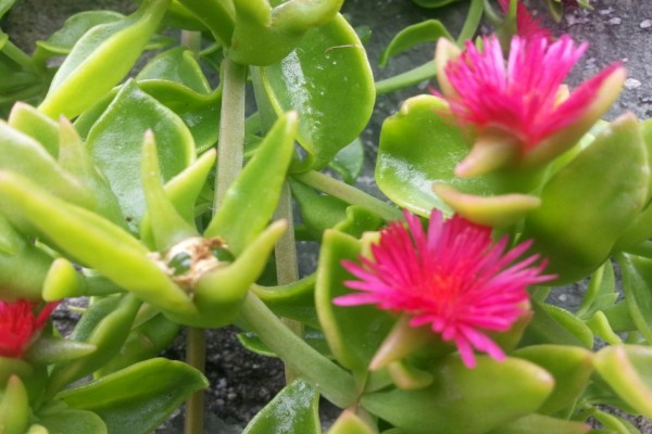 Delicada planta con flores fucsias
