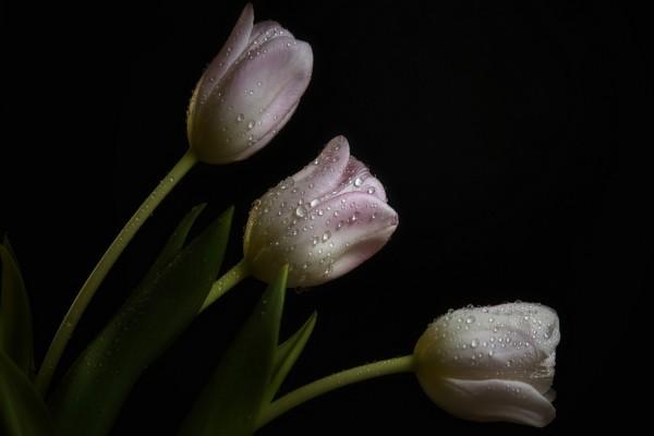 Tulipanes de color rosa y blanco con gotas de rocío