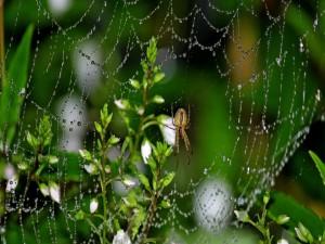 Postal: Araña en su tela mojada
