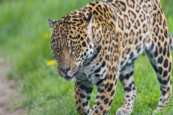 Un impresionante jaguar caminando en la hierba