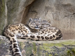 Postal: Leopardos de las nieves descansando sobre las rocas