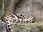 Leopardos de las nieves descansando sobre las rocas