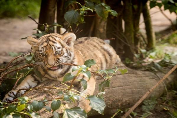Un joven tigre mordiendo una rama