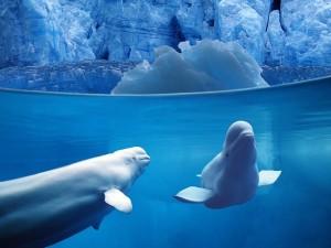Bellas belugas bajo el agua