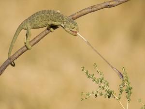Postal: Camaleón atrapando un insecto