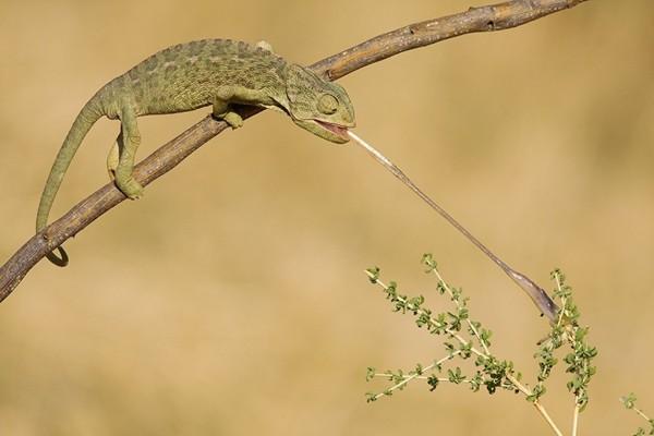 Camaleón atrapando un insecto