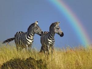 Postal: Dos cebras y un arco iris