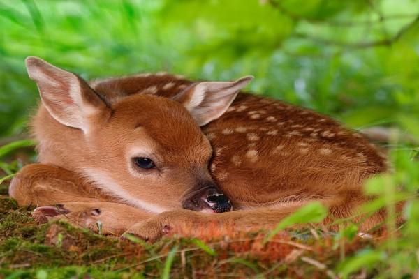 Un cervatillo adormilado sobre la hierba