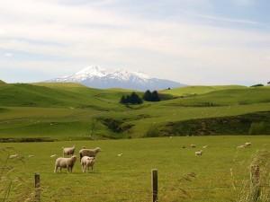 Ovejas en la hierba fresca