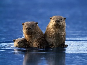 Una familia de nutrias en el agua