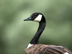 Un elegante pato