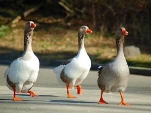 Hermosos gansos marchando en fila