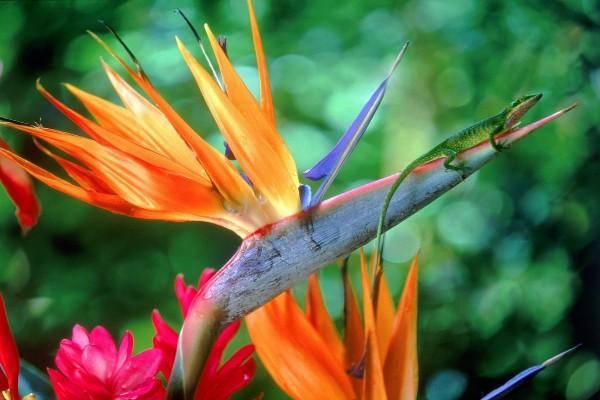 Una lagartija sobre una bella flor ave del paraíso