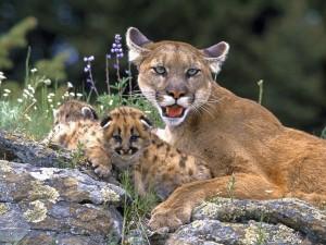 Un atento puma cuidando a sus crías