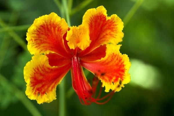 Bello hibisco amarillo y rojo
