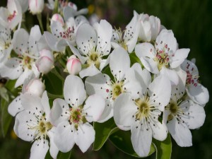 Postal: Bellísimas flores de pera