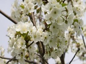 Ramas de cerezo con sensacionales flores