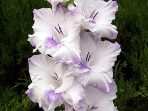 Hermosos gladiolos de color blanco con manchas lilas