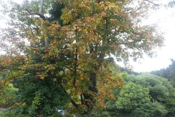 Árbol con hojas marrones al inicio del otoño