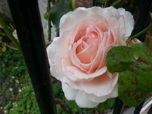 Bonita rosa en el rosal