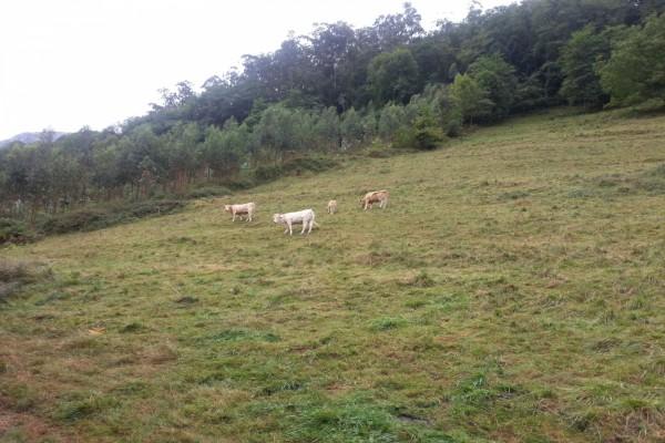 Vacas pastando en un gran prado