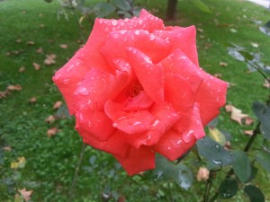 Una rosa con agua sobre sus pétalos