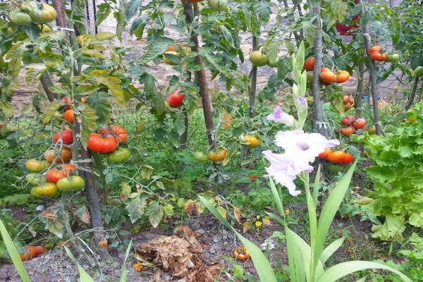 Tomates rojos y verdes en las tomateras