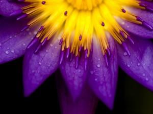 Centro amarillo y pétalos púrpura de una flor