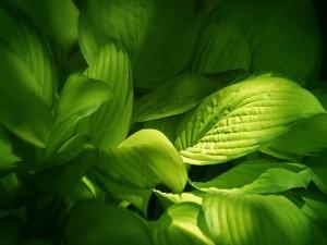 Grandes hojas verdes de una planta