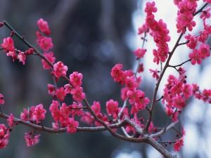 Ramas de un árbol con abundantes florecillas rosas
