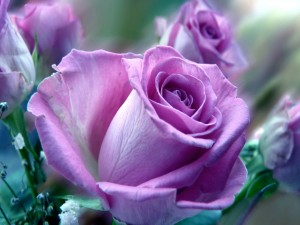 Postal: Rosas de un bonito color lila