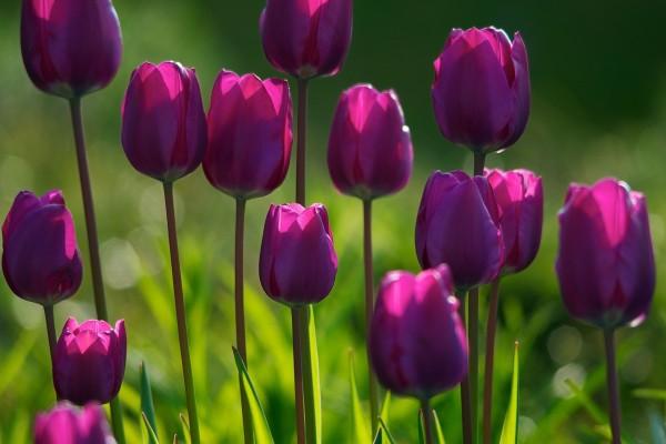 Tulipanes fucsias iluminados por el sol