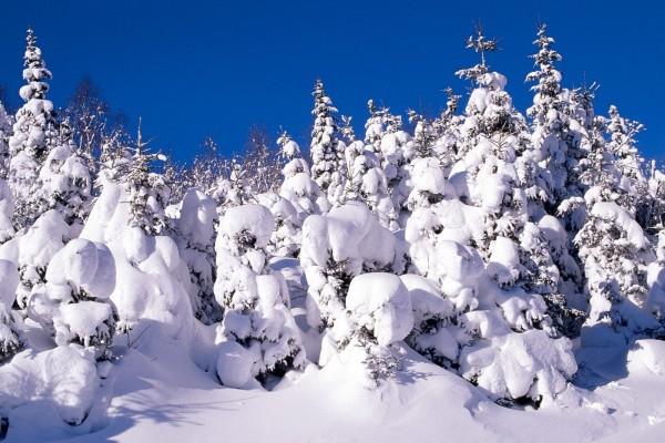 Nieve cubriendo los pinos