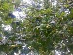 Gran cantidad de bellotas en el árbol