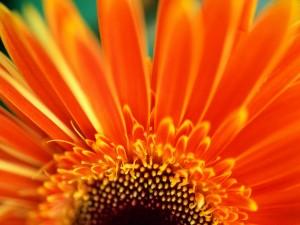 Postal: Pétalos naranjas de una gerbera