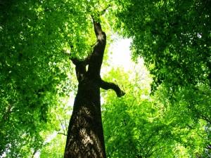 Postal: Grandes árboles con hojas verdes