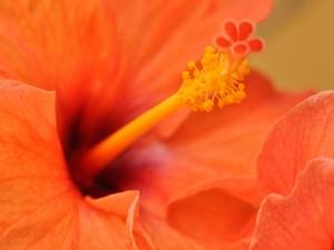 Un hibisco naranja