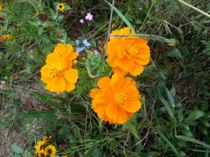 Postal: Flores naranjas entre plantas y otras pequeñas flores