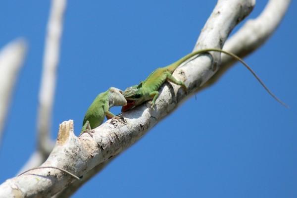 Batalla entre dos lagartos