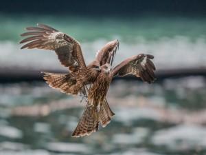 Pelea en vuelo entre dos halcones