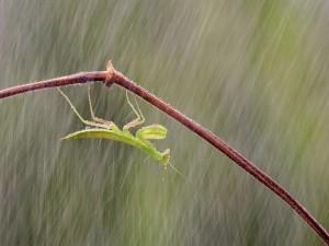 Mantis bajo la lluvia