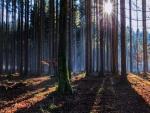 Los rayos del sol penetran entre los troncos de los árboles